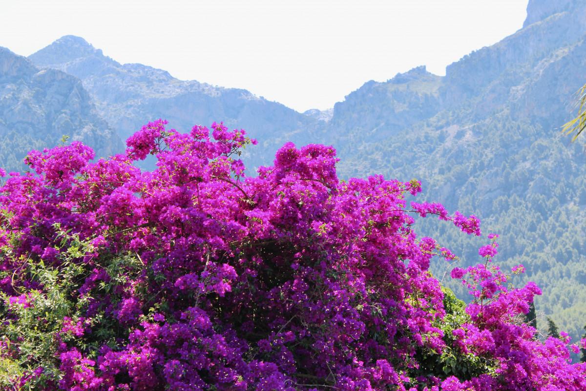 Het dal kleurt paars door de bloeiende Bougainvilles. Foto: Pauline van der Waal