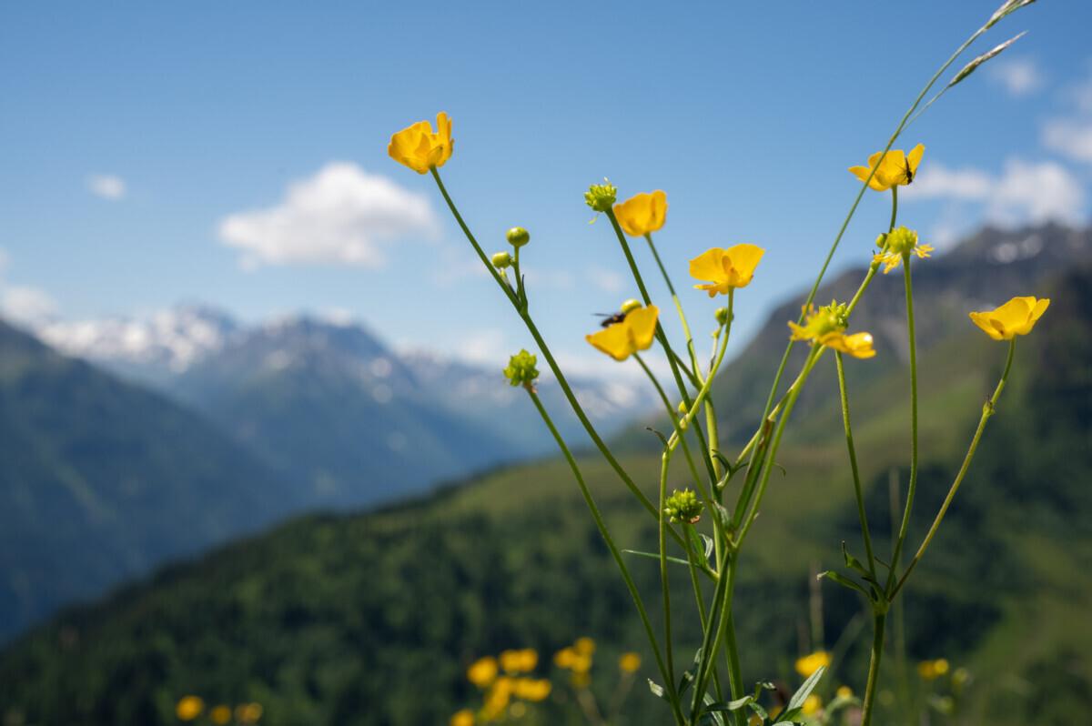 Boterbloemen uitzicht bergen