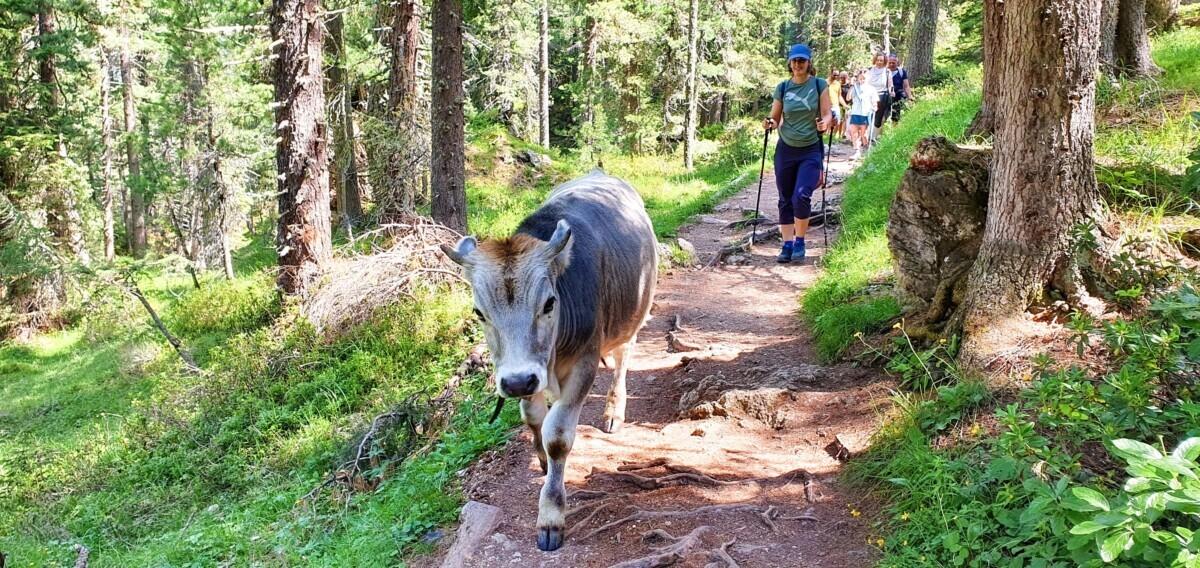 Koeien op het wandelpad