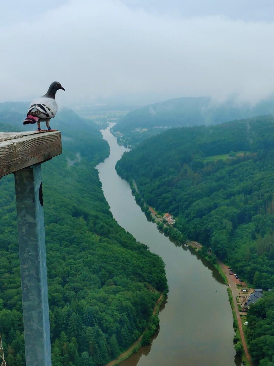 Een duif kijkt neer op de Saar