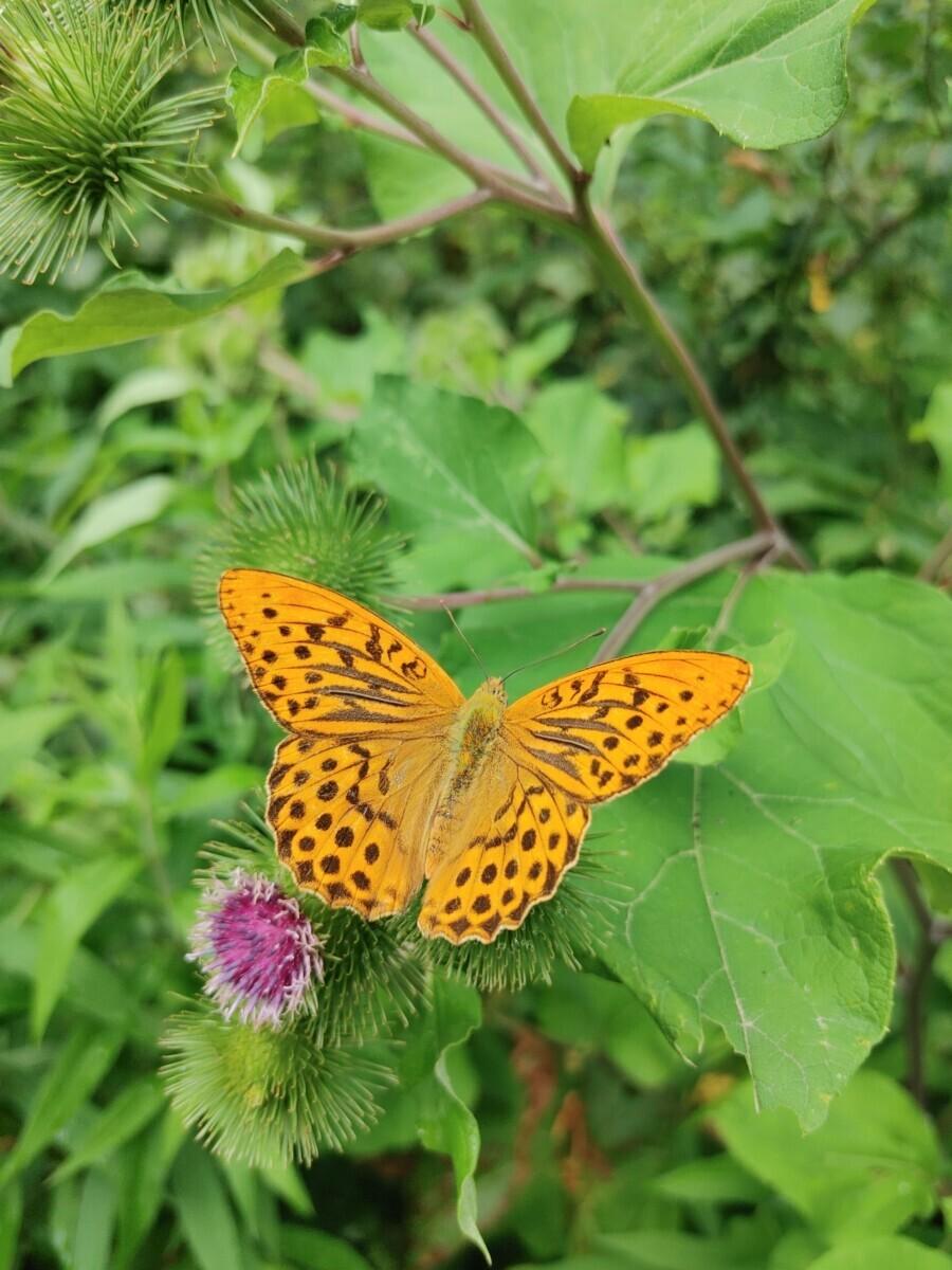 Keizersmantel (vlinder) op een groene plant