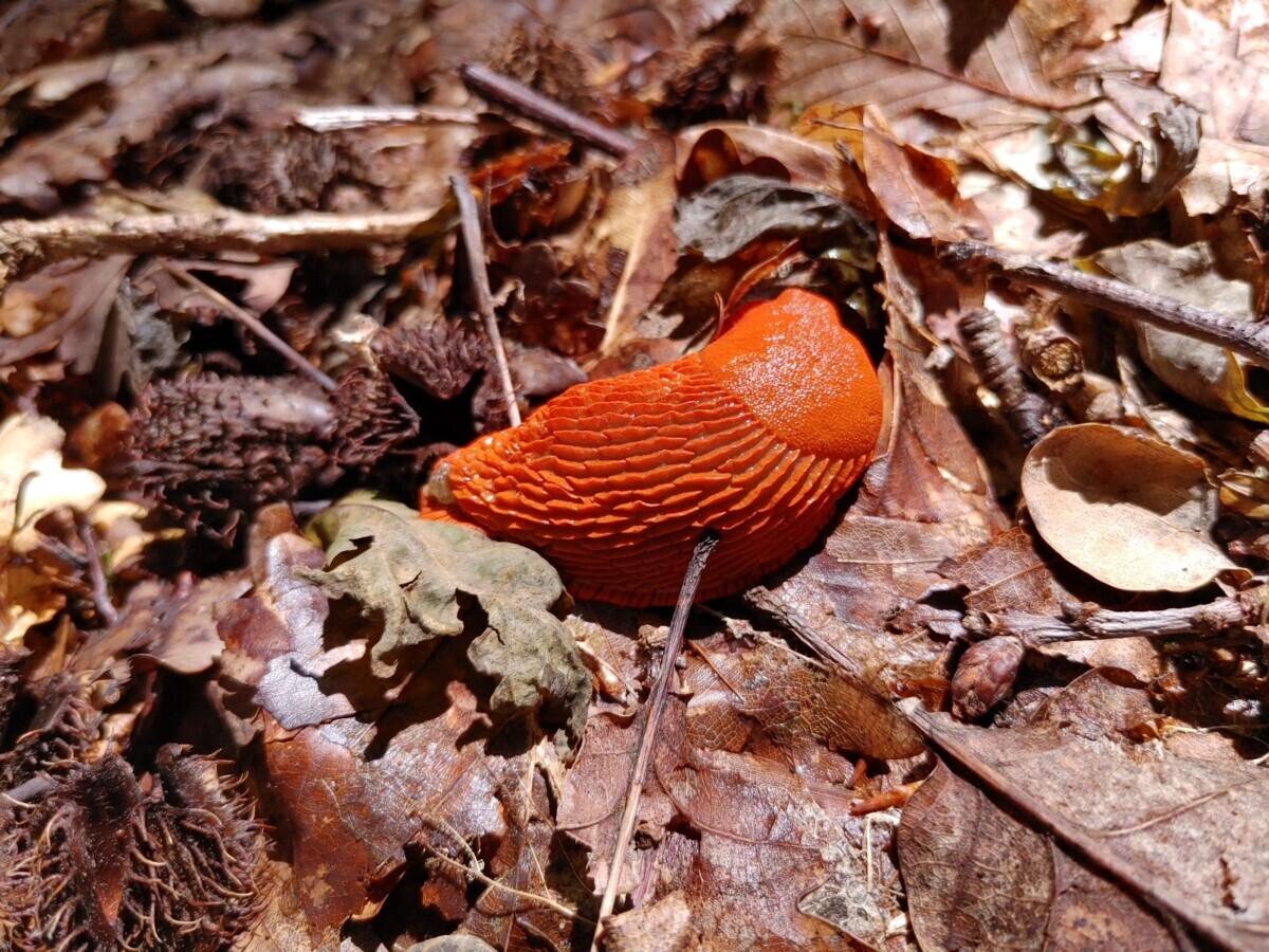 Saarland: grote, oranje slak tussen de dode bladeren op de grond