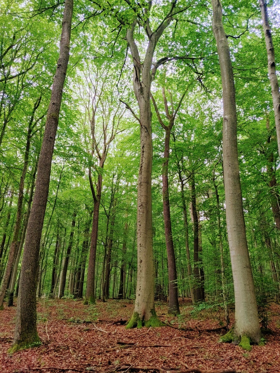 Saarland: Het oerbos met loofbomen