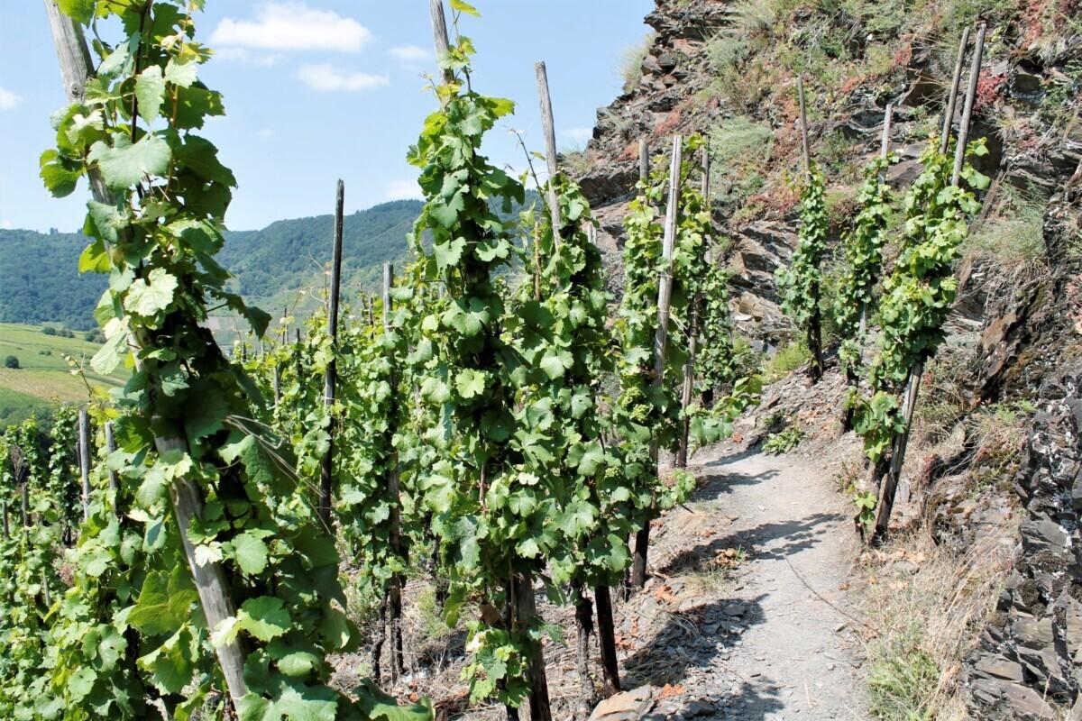 Wijngaarden op de Calmont