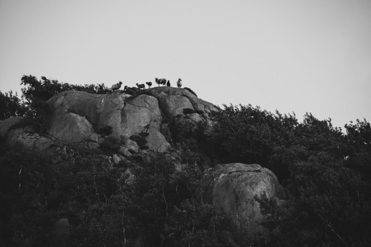 Schapen op de rotsen - zwart wit